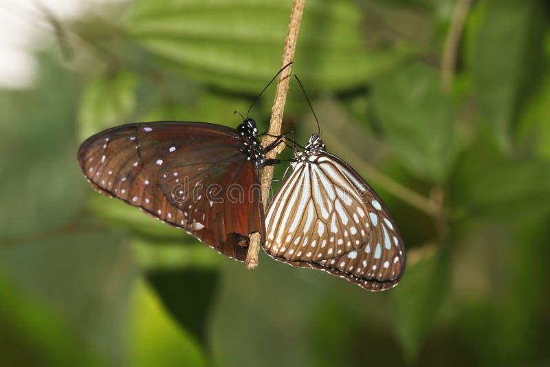 Пара общей индийской вороны, ядр Euploea, бабочки стоковое изображение