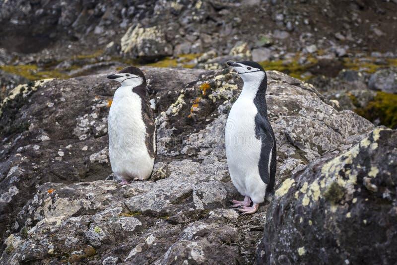 Пара пингвинов Chinstrap стоковые изображения rf