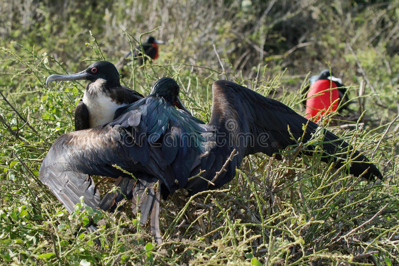 Download Пара птиц фрегата совместно Стоковое Фото - изображение насчитывающей южно, ангстрома: 41660222