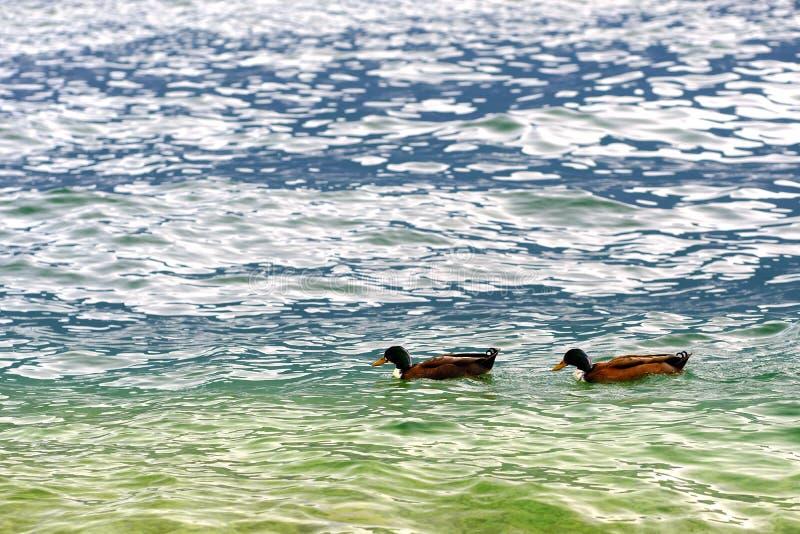 Пара уток, зеленая вода стоковое изображение rf