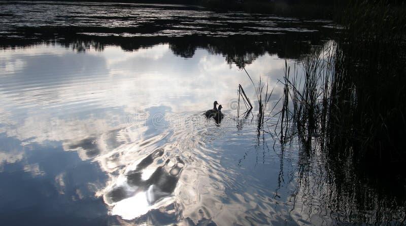 Пара уток плавает вдоль озера стоковое изображение