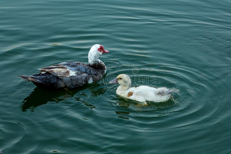 Пара уток плавая на озере стоковые фото