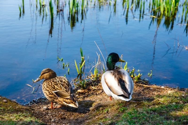 Пара уток стоит на береге озера стоковые изображения rf