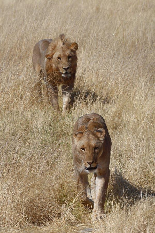 Пара ухаживая львов идя в Etosha стоковая фотография rf