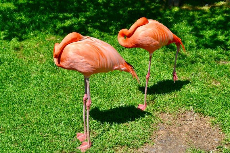 Пара фламинго спать стоковые изображения rf