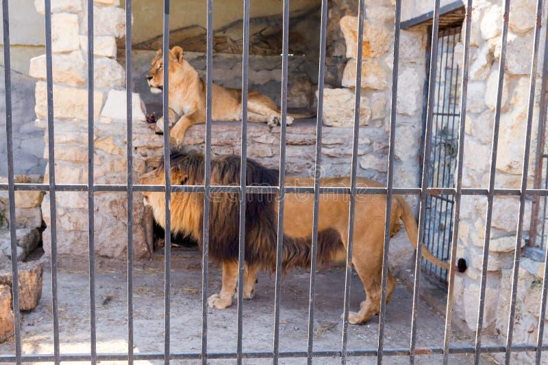 Пара львов в плене в зоопарке за решеткой Сила и агрессия в клетке стоковое фото rf