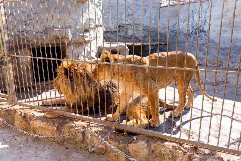Пара львов в плене в зоопарке за решеткой Сила и агрессия в клетке стоковые фотографии rf