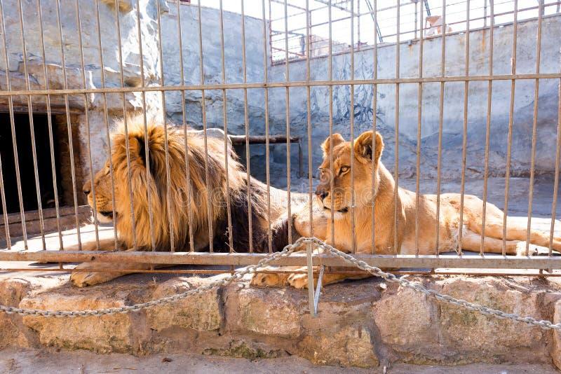 Пара львов в плене в зоопарке за решеткой Сила и агрессия в клетке стоковая фотография rf