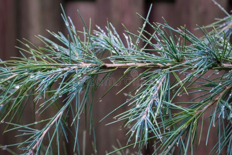 Парики голубого deodara Cedrus deodar кедра, также известные как гималайский кедр в саде стоковые фото