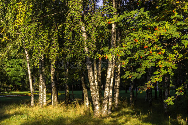 Парк, береза, стоковые фотографии rf