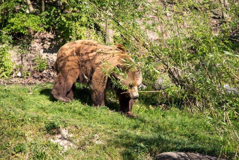 Парк медведя в Bern, Швейцарии стоковые изображения rf