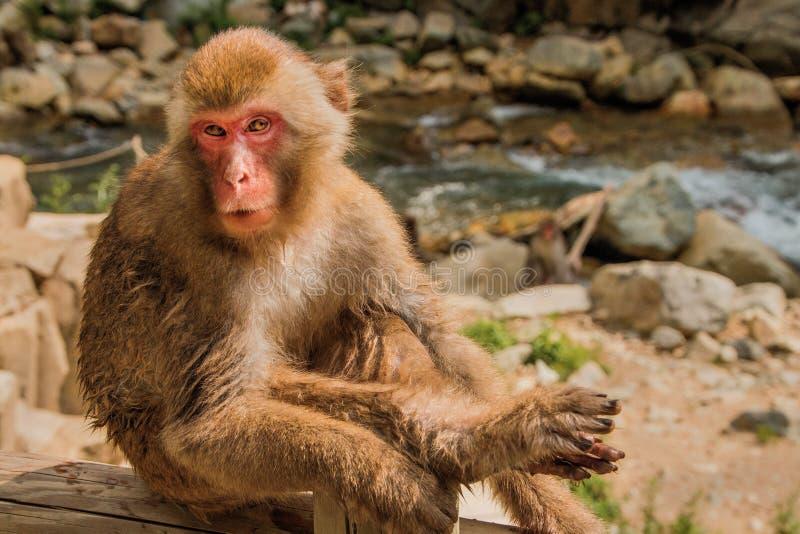 Парк обезьяны Jigokudani большое место для того чтобы увидеть обезьян в Ja стоковое фото