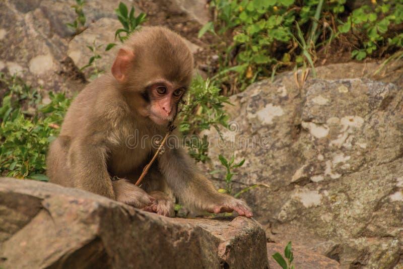 Парк обезьяны Jigokudani большое место для того чтобы увидеть обезьян в Ja стоковые изображения