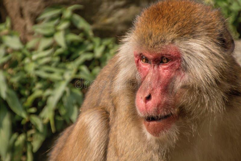 Парк обезьяны Jigokudani большое место для того чтобы увидеть обезьян в Ja стоковая фотография rf