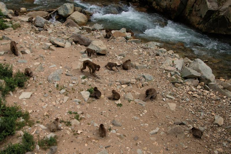 Парк обезьяны Jigokudani большое место для того чтобы увидеть обезьян в Ja стоковое фото rf