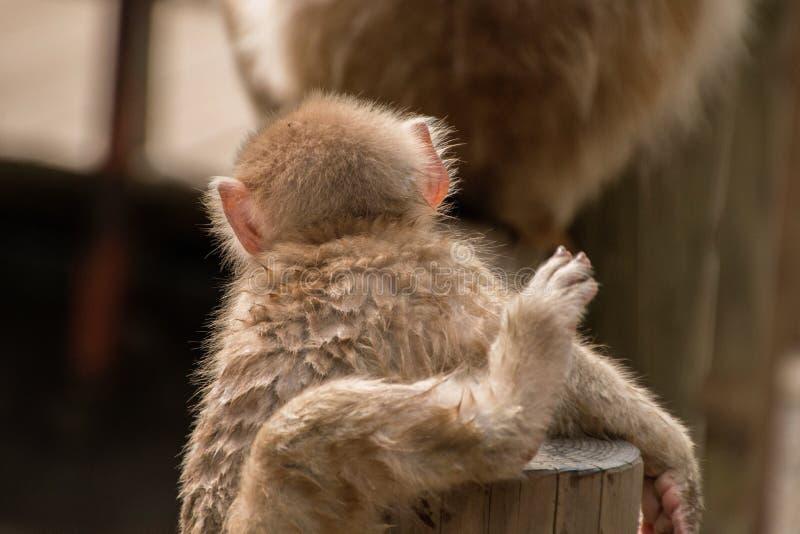 Парк обезьяны Jigokudani большое место для того чтобы увидеть обезьян в Ja стоковая фотография
