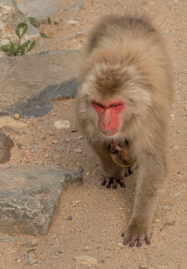Парк обезьяны Jigokudani большое место для того чтобы увидеть обезьян в Ja стоковое изображение rf