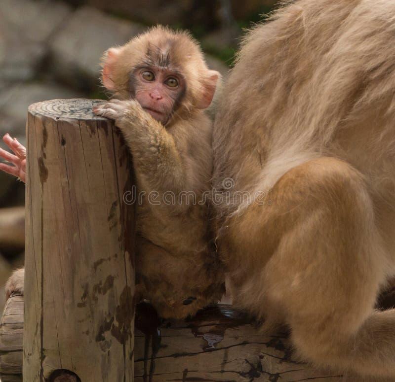 Парк обезьяны Jigokudani большое место для того чтобы увидеть обезьян в Ja стоковые изображения rf