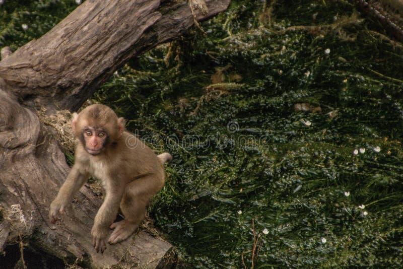 Парк обезьяны Jigokudani большое место для того чтобы увидеть обезьян в Ja стоковые фото
