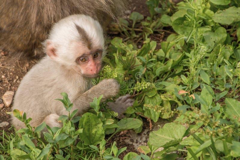 Парк обезьяны Jigokudani большое место для того чтобы увидеть обезьян в Ja стоковые фотографии rf