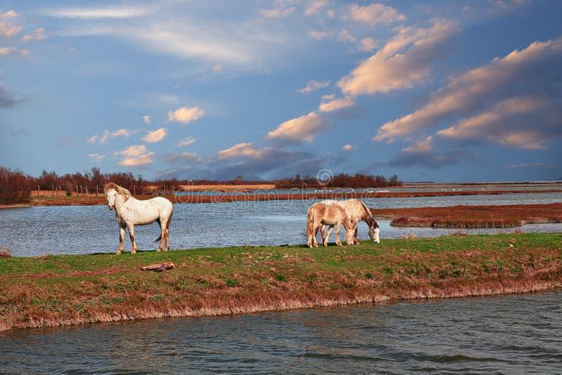 Парк перепада Po, Равенна, Италия: ландшафт болота с дикими лошадьми пас стоковые фотографии rf