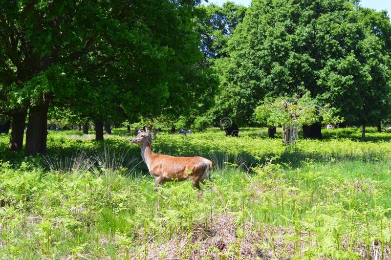 Парк Ричмонда при красный женский олень идя поперек стоковое фото