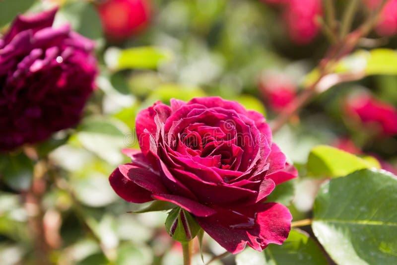 Парк роз стоковое фото rf