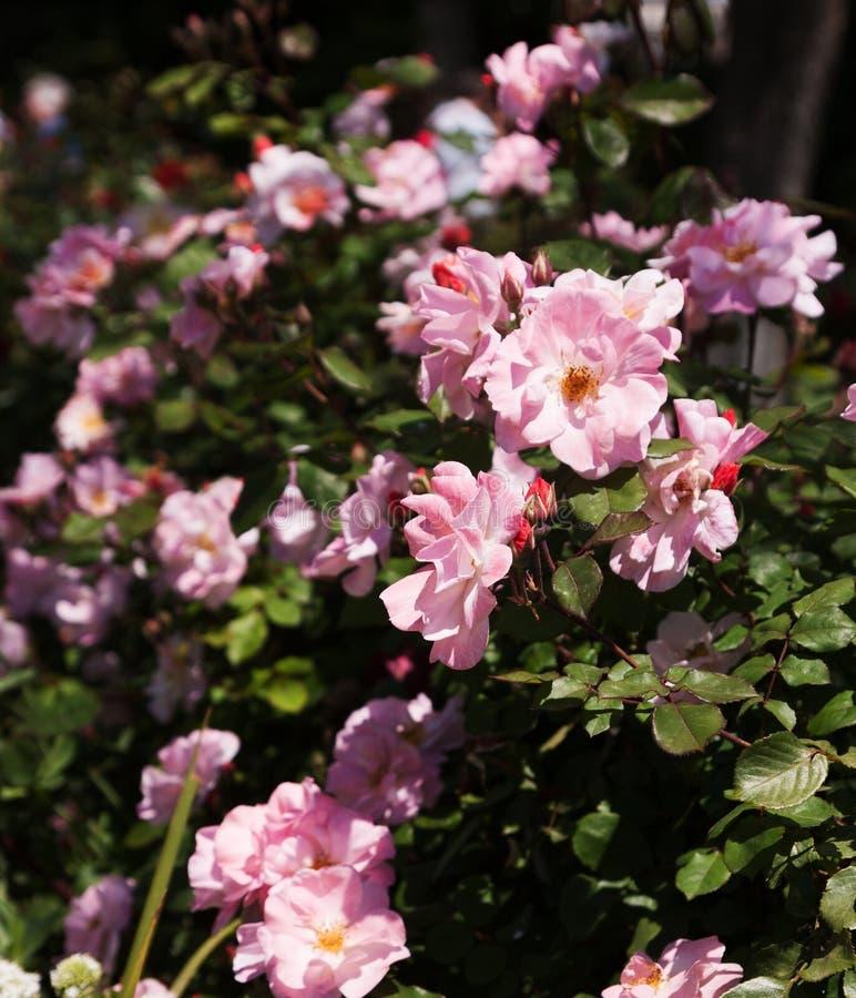 Парк роз стоковое изображение rf