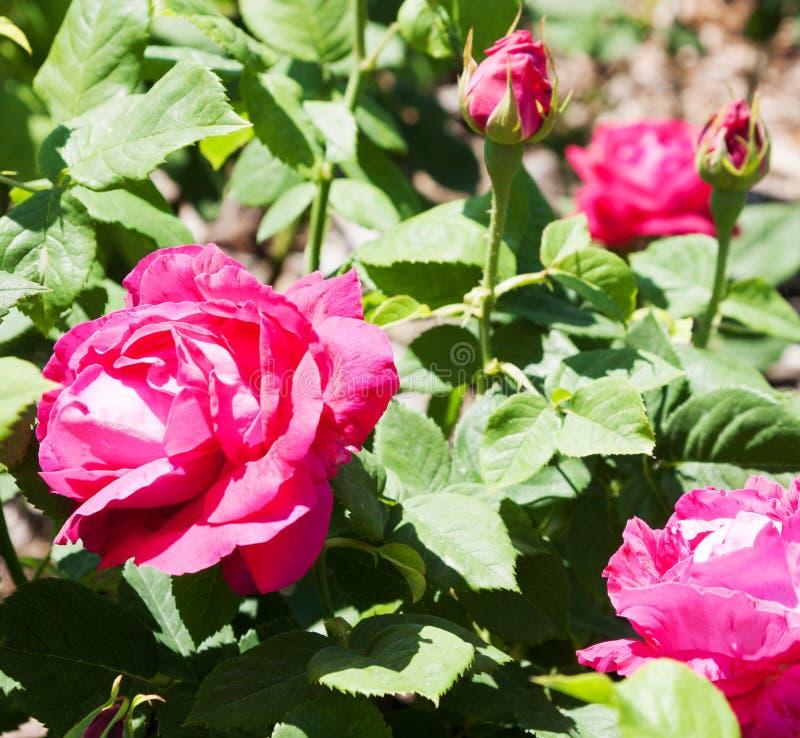 Парк роз стоковое изображение