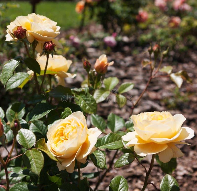 Парк роз стоковые фотографии rf