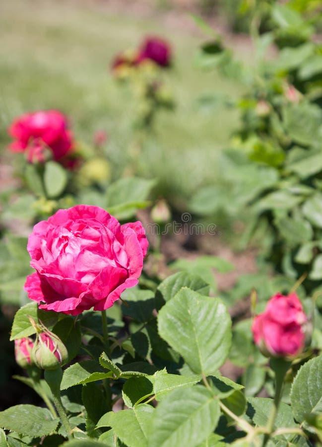 Парк роз стоковое фото
