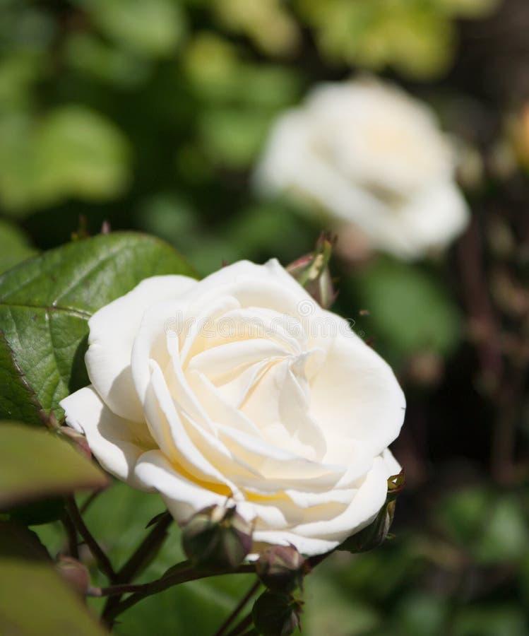 Парк роз стоковая фотография