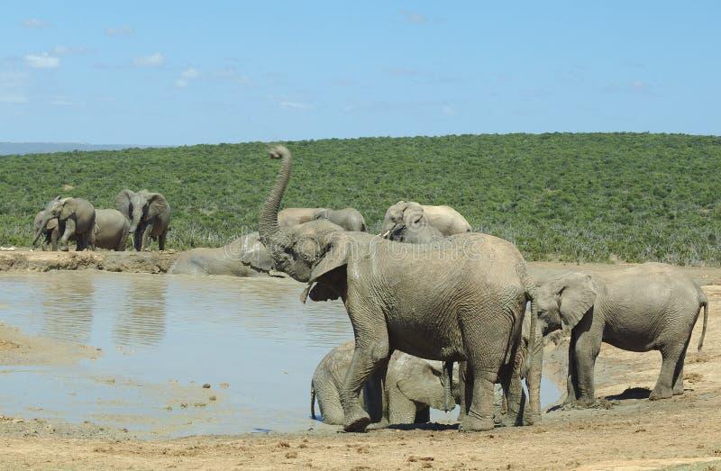 парк слонов слона addo стоковая фотография rf