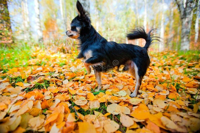 Download парк собаки чихуахуа стоковое изображение. изображение насчитывающей черный - 18376983