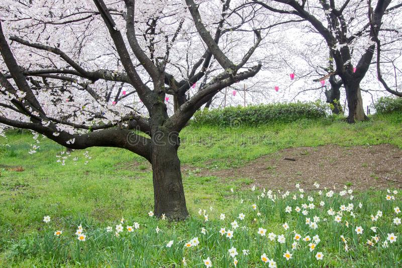 Парк Gongendo в Satte, Saitama, Японии на 8,2017 -го апреля: Полн-зацветенные daffodils и вишневые цвета весной стоковая фотография