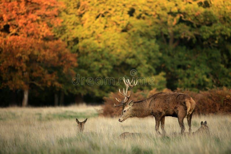 парк richmond оленей стоковая фотография