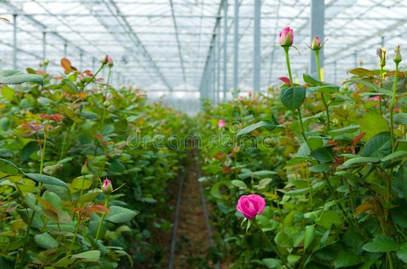 Парник с розами стоковое изображение