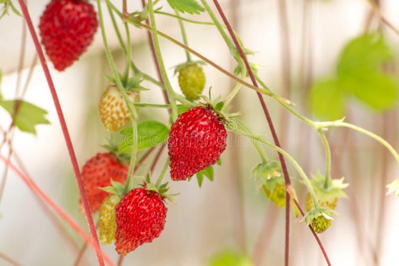 Парник с строками зрелых больших красных заводов одичалых клубник, подготавливает для сбора, сладостной вкусной органической ягод стоковая фотография
