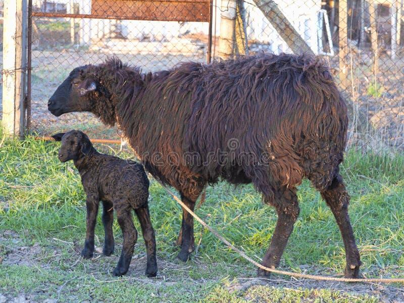 Паршивые овцы и овечка изолированные над белизной стоковые фото