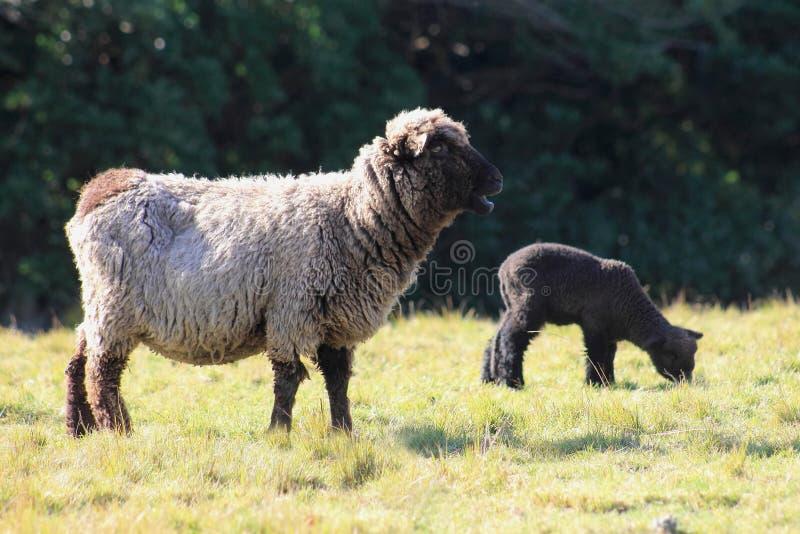 Паршивые овцы и овечка стоковое фото
