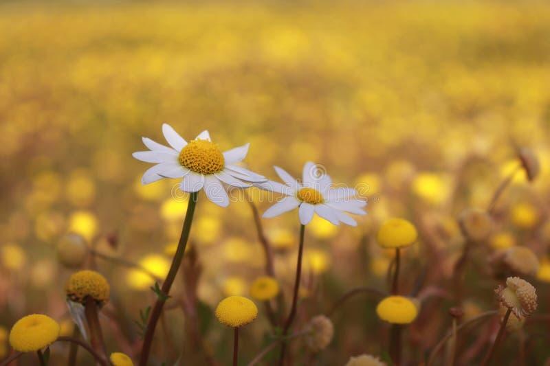 Пары белых маргариток зацветая в зеленой предпосылке природы стоковое фото rf