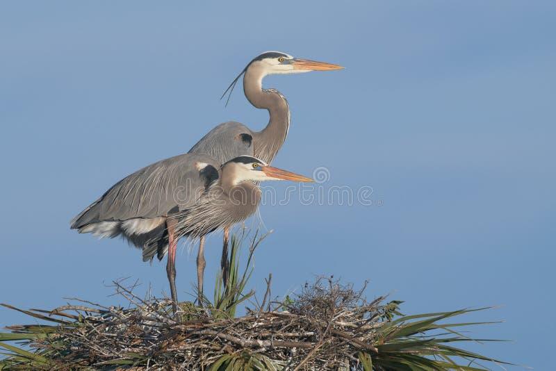 Пары больших голубых цапель на гнезде стоковые фото