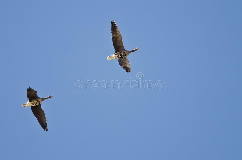 Пары больших, который Бело-противостоят гусынь летая в голубое небо стоковое фото