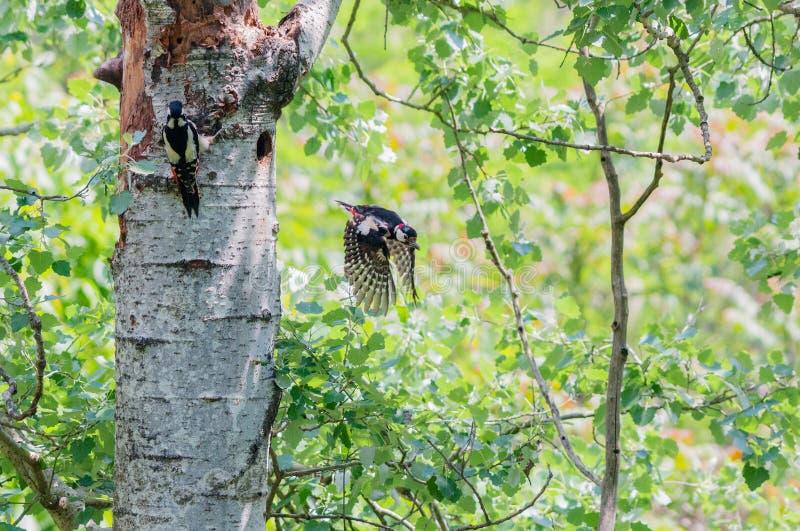 Пары большого запятнанного woodpecker с мужской летать с гнезда стоковые фотографии rf