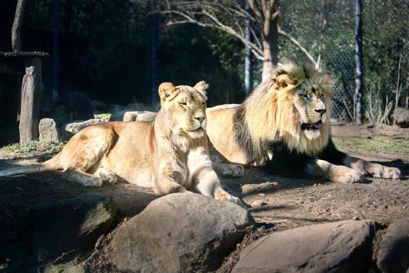 Пары в Солнце - солнечный день льва - загорать стоковые фотографии rf