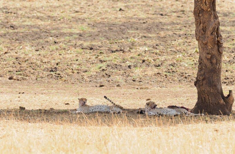 Пары гепарда отдыхая после еды стоковое изображение
