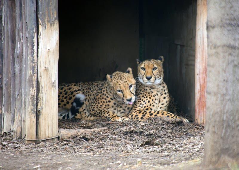 Пары гепардов стоковые изображения