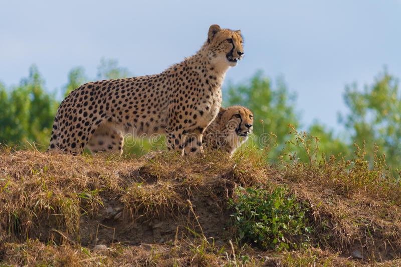 Пары гепардов стоковые фото