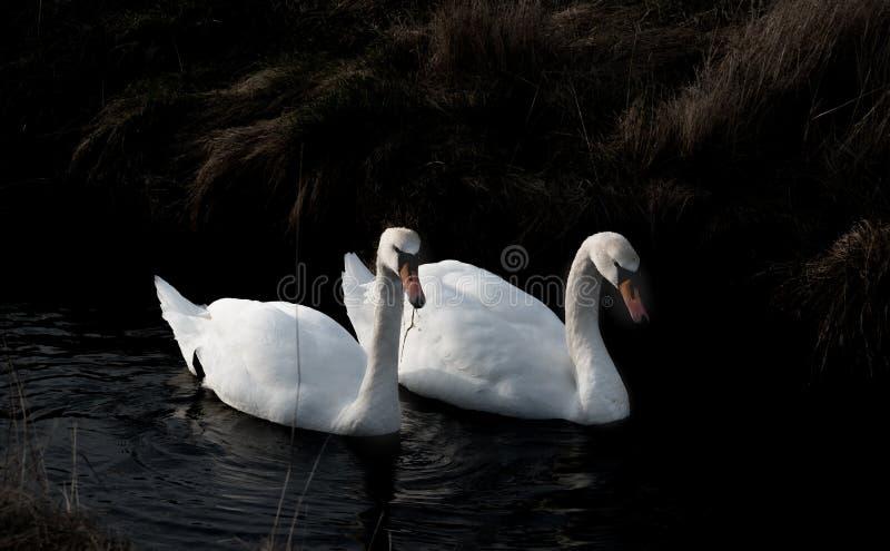 Пары лебедя ища для еды стоковые фото