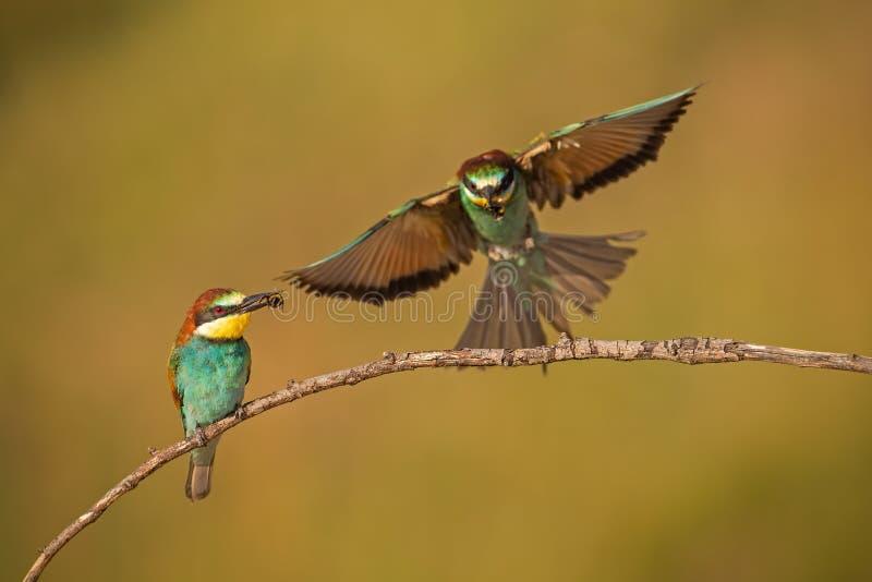 Пары европейских пчел-едоков, apiaster merops с задвижкой стоковое изображение